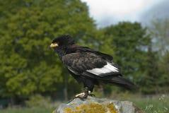 Pássaro de Bateleur de rapina africano Imagens de Stock