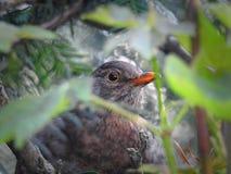 pássaro de bebê camuflado que esconde em seu ninho fotografia de stock royalty free