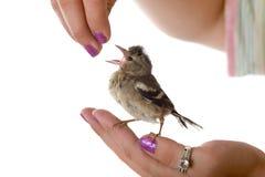 Pássaro de bebê com fome Imagens de Stock Royalty Free