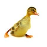 Pássaro de bebê curioso - funcionamento e divertimento! Imagem de Stock