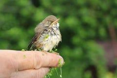 Pássaro de bebê de um tordo em uma lentilha-d'água que senta-se em um dedo Fotografia de Stock Royalty Free