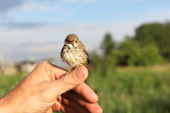 Pássaro de bebê de um tordo em uma lentilha-d'água que senta-se em um dedo Foto de Stock