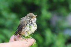 Pássaro de bebê de um tordo em uma lentilha-d'água que senta-se em um dedo Fotos de Stock Royalty Free