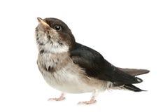 Pássaro de bebê de uma andorinha imagens de stock royalty free