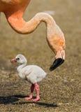 Pássaro de bebê do flamingo americano Imagens de Stock Royalty Free