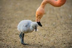 Pássaro de bebê do flamingo americano com sua mãe Fotos de Stock Royalty Free