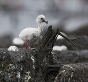 Pássaro de bebê do flamingo do Cararibe em um ninho. Fotografia de Stock Royalty Free