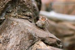 Pássaro de bebê do pardal Fotografia de Stock Royalty Free