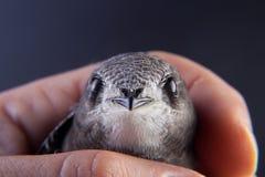 Pássaro de bebê em minha mão Foto de Stock Royalty Free