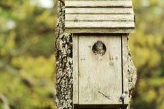 Pássaro de bebê irritado Foto de Stock Royalty Free