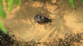 Pássaro de bebê na terra video estoque