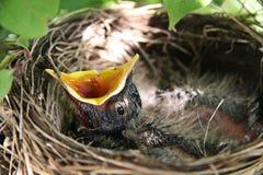 Pássaro de bebê Open-mouthed no ninho Fotos de Stock Royalty Free