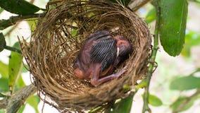 Pássaro de bebê Open-mouthed no ninho fotos de stock