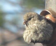 Pássaro de bebê que descansa no alimentador Fotos de Stock Royalty Free