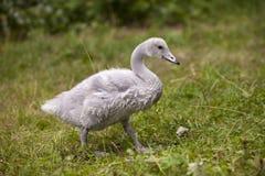 Pássaro de bebê de um fim da cisne acima no dia ensolarado fotos de stock royalty free