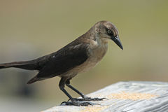 Pássaro de Brown Imagem de Stock Royalty Free