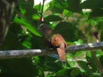 Pássaro de Brown Imagem de Stock