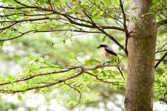 Pássaro de Brown em um ramo de árvore Fotografia de Stock Royalty Free