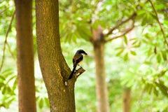 Pássaro de Brown em um ramo de árvore Fotos de Stock Royalty Free