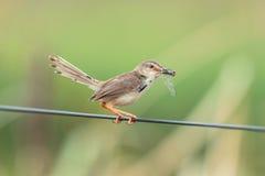 Pássaro de Brown que come a libélula Fotos de Stock