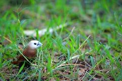 Pássaro de Brown que procura pelo feno foto de stock royalty free