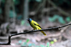 Pássaro de cabeça negra do Bulbul fotos de stock royalty free