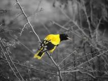 Pássaro de cabeça negra do xanthornus de Oriole Oriolus imagens de stock royalty free