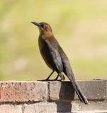 Pássaro de Califórnia Grackle fotos de stock