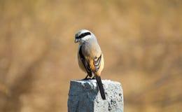 Pássaro de cauda longa do picanço, sentando-se em cercar o polo fotos de stock