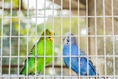 Pássaro de Conure Fotos de Stock