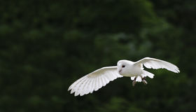 Pássaro de coruja de celeiro de rapina no indicador da falcoaria Imagem de Stock Royalty Free