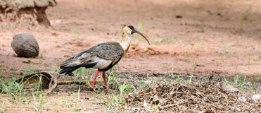Pássaro de Curicaca que anda no assoalho da sujeira e na alguma grama Imagem de Stock Royalty Free