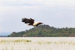 Pássaro de Eagle Caçador dos peixes Eagle do lago Baringo Kenya, África fotos de stock royalty free