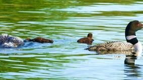 Pássaro de estado de Minnesota, família comum do mergulhão-do-norte video estoque