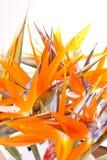 Pássaro de flores de paraíso Fotos de Stock Royalty Free