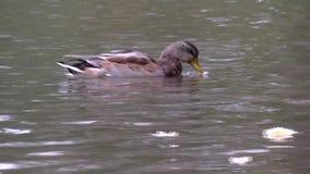 Pássaro de flutuação em uma lagoa vídeos de arquivo