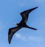 Pássaro de fragata #3 Imagens de Stock