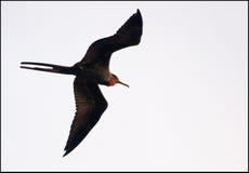Pássaro de fragata fotos de stock