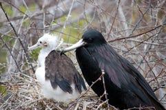 Pássaro de fragata fêmea com pintainho. fotos de stock