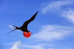 Pássaro de fragata masculino do voo durante a estação de acoplamento Fotografia de Stock Royalty Free
