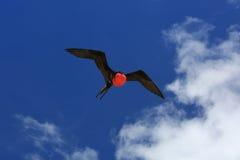 Pássaro de fragata masculino do voo durante a estação de acoplamento Imagens de Stock Royalty Free