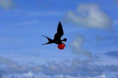 Pássaro de fragata masculino do voo durante a estação de acoplamento Foto de Stock