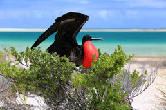 Pássaro de fragata masculino durante o ritual de acoplamento Fotos de Stock
