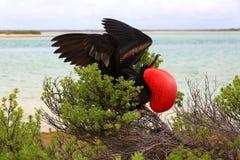 Pássaro de fragata masculino durante o ritual de acoplamento da dança Imagens de Stock