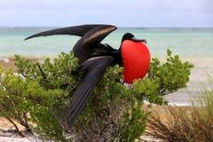 Pássaro de fragata masculino durante o ritual de acoplamento da dança Fotografia de Stock Royalty Free