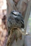 Pássaro de Frogmouth em um ramo Fotografia de Stock Royalty Free