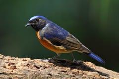 Pássaro de Fujian Niltava Fotos de Stock Royalty Free