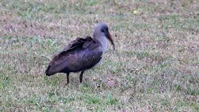 Pássaro de Hadeda Ibis Imagem de Stock
