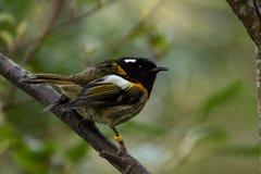 Pássaro de Hihi, Nova Zelândia, plumagem masculina imagens de stock