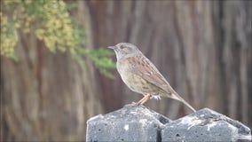 Pássaro de ingleses do pardal do Dunnock empoleirado na cerca do jardim em voo que voa a mosca video estoque